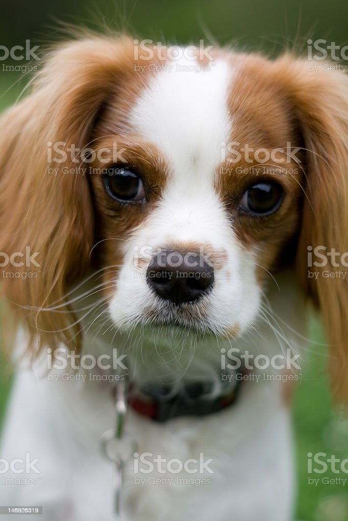 Cute Cavalier King Charles Spaniel Stock Photo Download Image Now Istock