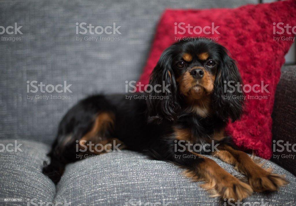 Cute Cavalier King Charles Spaniel posing on a sofa stock photo
