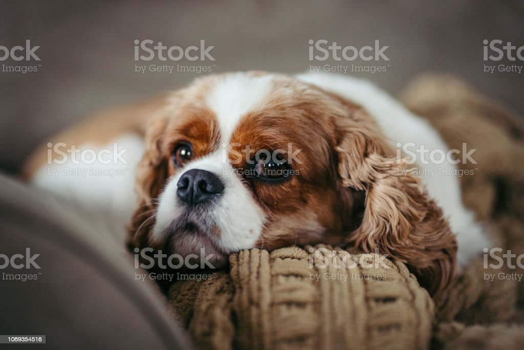 Cute Cavalier King Charles Spaniel Puppy Dog Stock Photo Download Image Now Istock