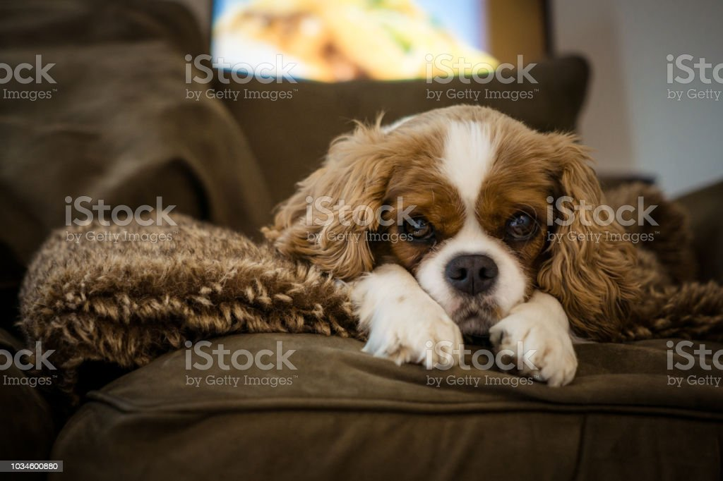 Cute Cavalier King Charles Spaniel Rescue Dog Stock Photo Download Image Now Istock