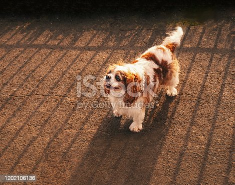 Cute Cavalier King Charles Spaniel standing looking up with the sun behind him casting a striped shade from the fence behind.