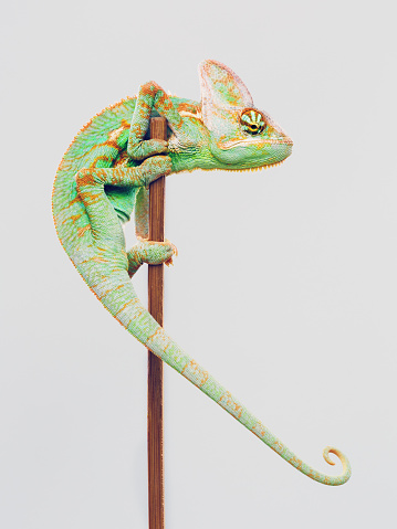 Portrait of cute baby chameleon climbing a wood pole against white background. Vertical studio photography from a DSLR camera. Sharp focus on eyes.