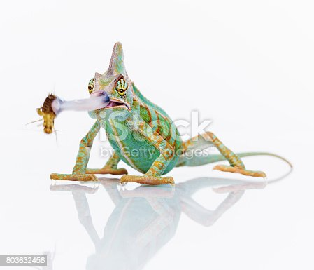 Portrait of small baby chameleon eating a cricket with his retractable tongue against white background. Horizontal studio photography from a DSLR camera. Sharp focus on eyes.