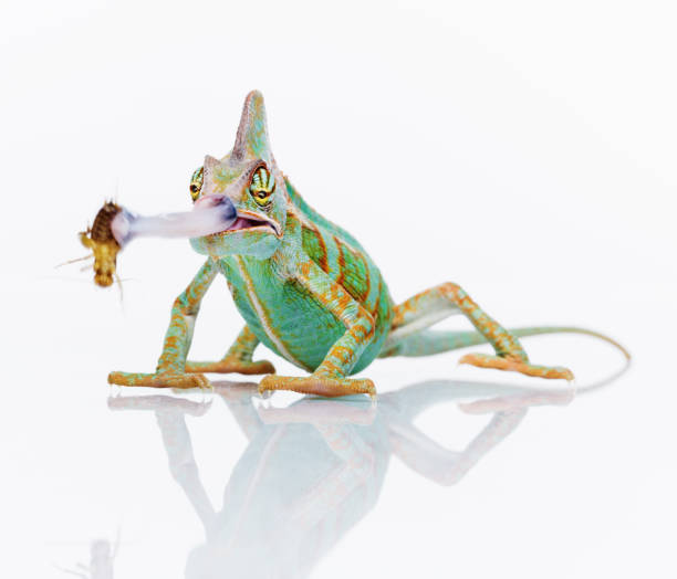 Cute chameleon eating an insect stock photo