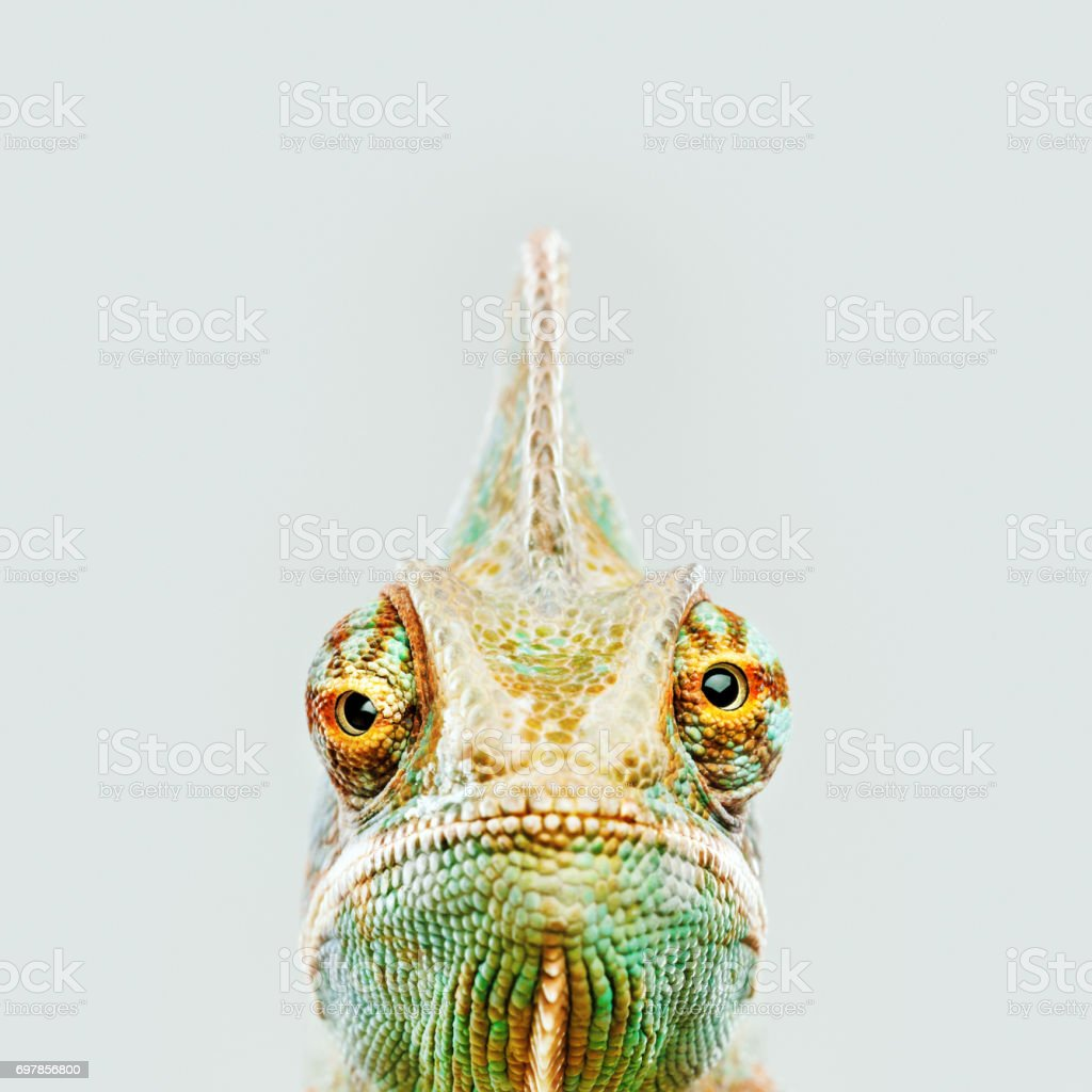 Cute chameleon looking at camera stock photo