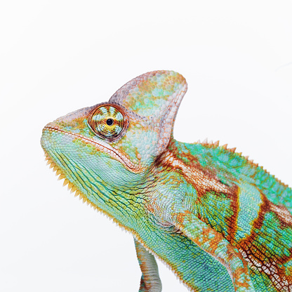 Cute chameleon looking at camera
