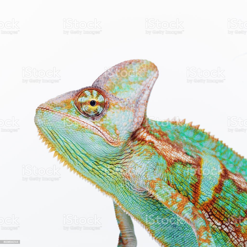Cute chameleon looking at camera - foto stock