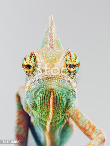 Close up portrait of cute baby chameleon looking at camera against gray background with human expression. Vertical studio photography from a DSLR camera. Sharp focus on eyes.