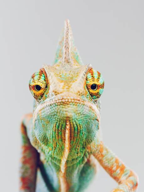 cute chameleon looking at camera - kameleon zdjęcia i obrazy z banku zdjęć