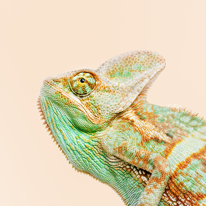 Close up portrait of cute baby chameleon looking away against orange background with profile view. Square studio photography from a DSLR camera. Sharp focus on eye.
