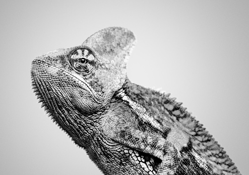 Close up black and white portrait of cute baby chameleon looking at camera with profile view. Horizontal studio photography from a DSLR camera. Sharp focus on eye.