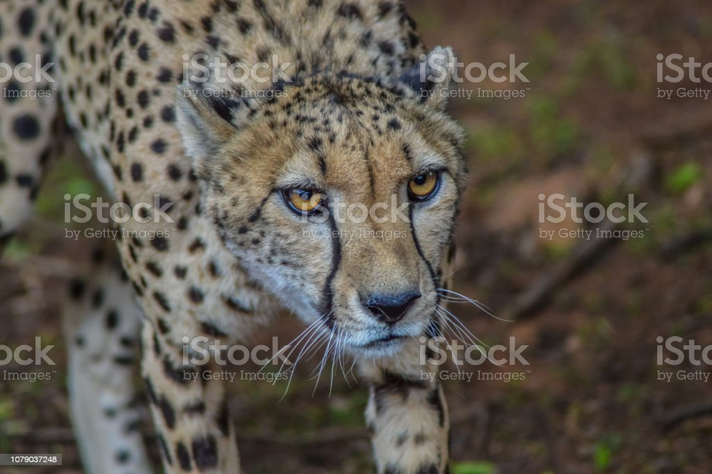 A cute Cheetah staring at me in a Safari in South Africa stock photo