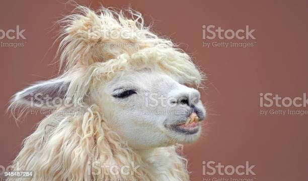 Cute chic alpaca hairstyle close up portrait on clean background picture id945487284?b=1&k=6&m=945487284&s=612x612&h=cwdu7fs6nygdoo7yicrba7cdppdkq4mfpvr0mi0v p4=
