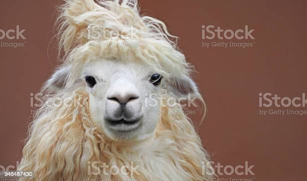 Cute chic alpaca hairstyle close up portrait on clean background picture id945487430?b=1&k=6&m=945487430&s=612x612&h=1z9t2rokmffvzr70di thlgufe8noi7shsp phbncrq=