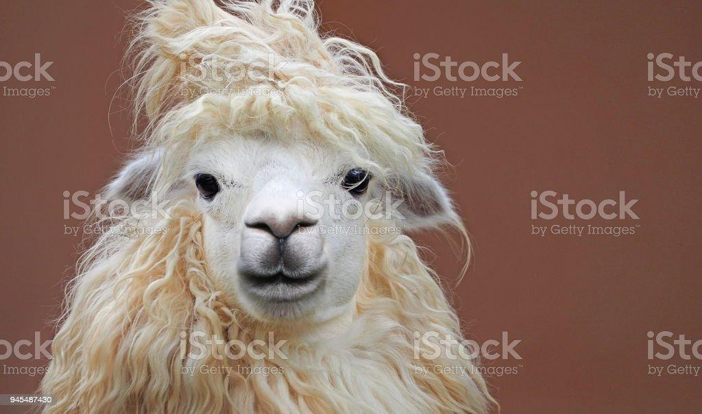 leuk chique alpaca kapsel close-up portret op schone achtergrond foto