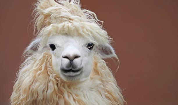 peinado de alpaca chic lindo cerca retrato sobre fondo limpio - alpaca fotografías e imágenes de stock