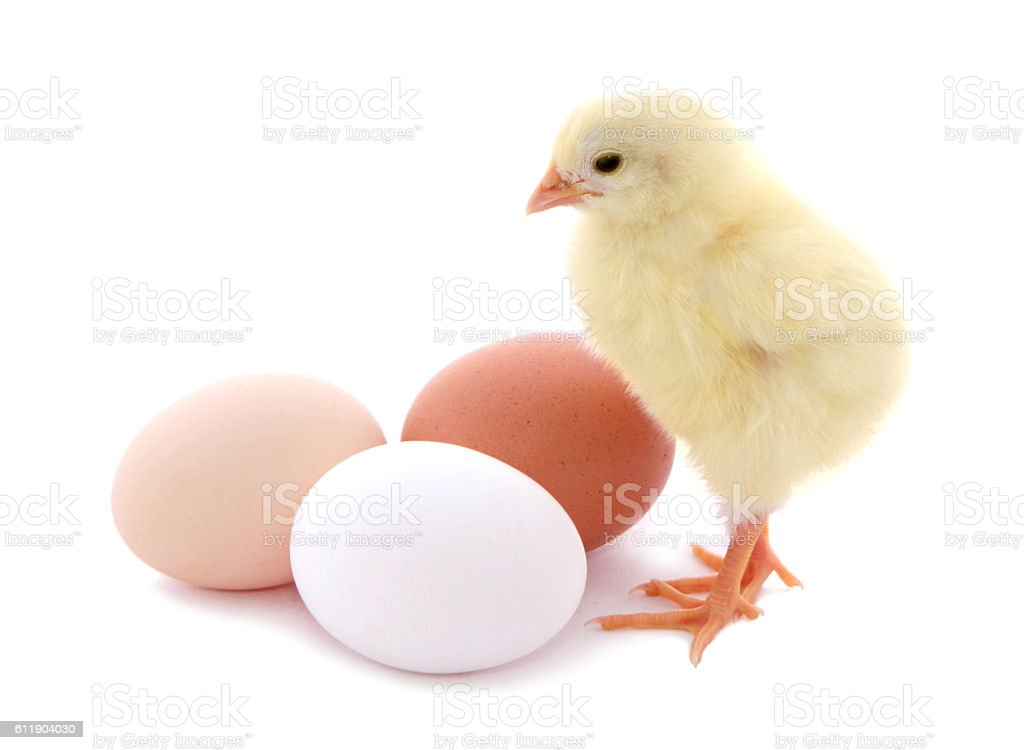Cute chick and eggs isolated on white background. stock photo