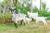 Cute chick goat relaxing in ranch farm in summer day. Domestic goats grazing in pasture and chewing, countryside background. Goat in natural eco farm growing to give milk and cheese