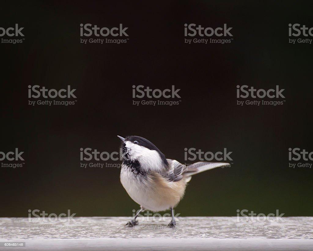Cute chickadee bird stock photo