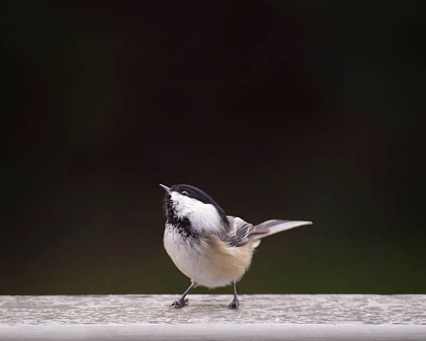 Cute chickadee bird Cute chickdee bird. chickadee stock pictures, royalty-free photos & images
