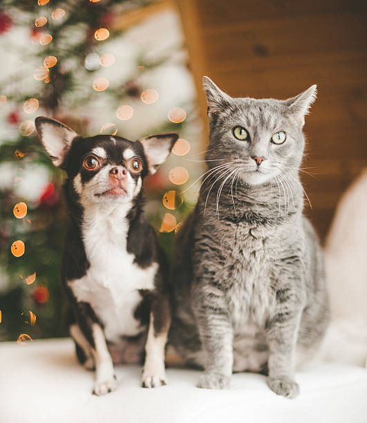 Cute chihuahua and cat infront of christmas tree Cute chihuahua and cat infront of christmas tree short haired chihuahua stock pictures, royalty-free photos & images