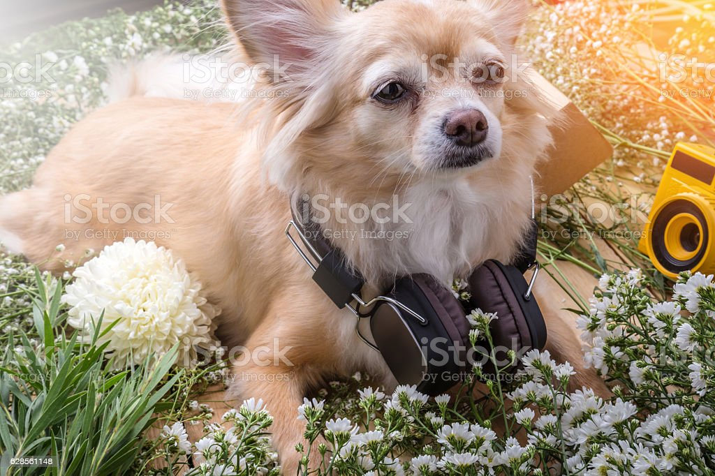 cute chihuahua brown dog sitting relax with flower stock photo