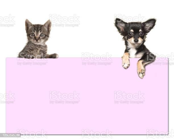 Cute chihuahua dog and a tabby baby cat holding a pink paper board picture id1250595288?b=1&k=6&m=1250595288&s=612x612&h=8zusy59cxew4ewlbmkvbgtmmfik0s9mt0njdrowl4i8=
