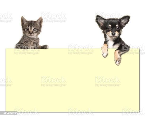 Cute chihuahua dog and a tabby baby cat holding an yellow paper board picture id1250595079?b=1&k=6&m=1250595079&s=612x612&h=c882rb4mcvb4mrytkasyy6lggpjyhv77g0cwskuveda=