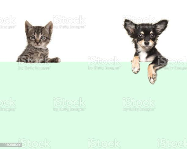 Cute chihuahua dog and tabby baby cat hanging in the corners over an picture id1250595099?b=1&k=6&m=1250595099&s=612x612&h=d4n r0ku8hbupfrbb8ntqmtuwhvhltawy jbcezm3ge=