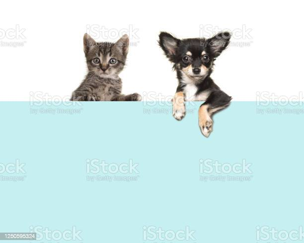 Cute chihuahua dog and tabby baby cat hanging side by side over an picture id1250595324?b=1&k=6&m=1250595324&s=612x612&h=mdcsv2raunxnxge7amqlrz dwig9fvfoemcrjzgzi1k=