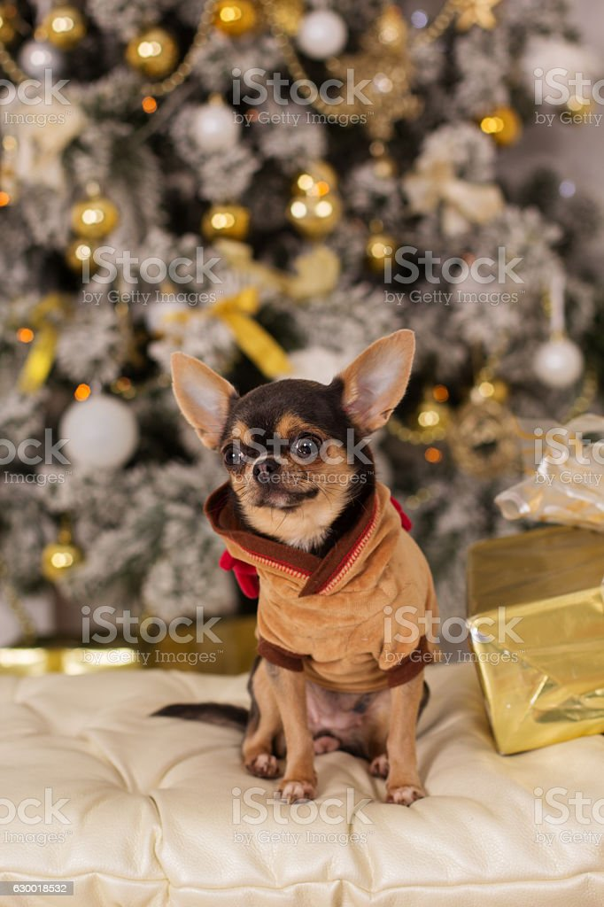 Cute Chihuahua Dog Christmas Concept Stock Photo More Pictures Of