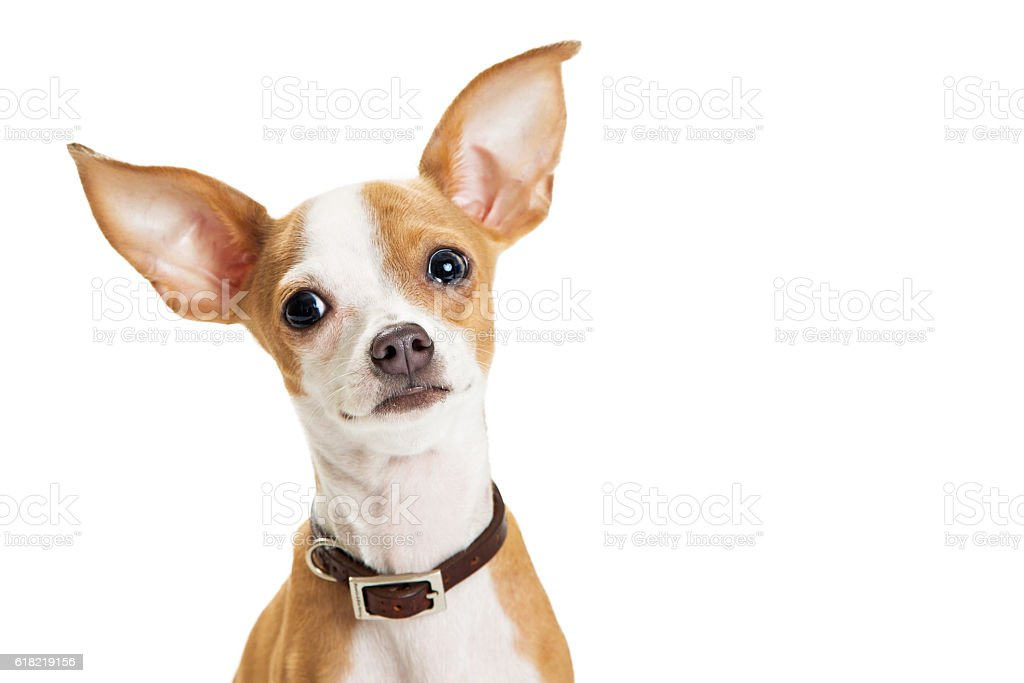 Cute Chihuahua Dog Closeup Loving Expression stock photo