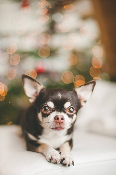 Cute chihuahua dog infront of christmas tree Cute chihuahua dog infront of christmas tree short haired chihuahua stock pictures, royalty-free photos & images