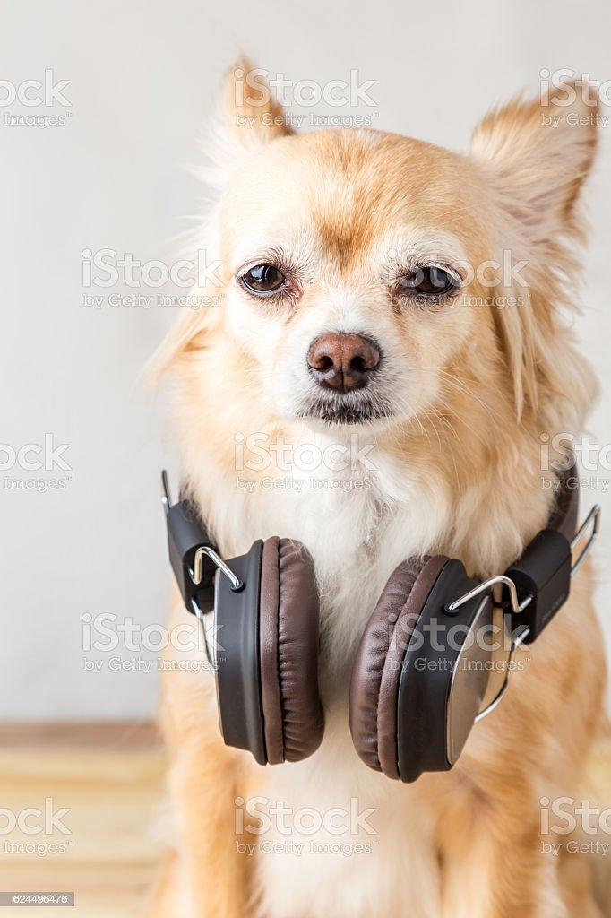 cute chihuahua dog listening to music stock photo