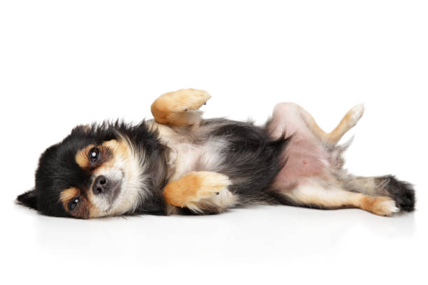 Cute Chihuahua dog resting - fotografia de stock