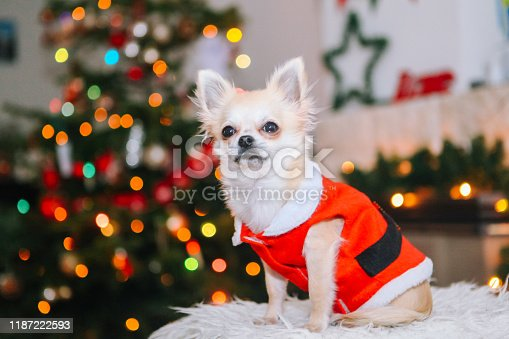 Cute chihuahua dog wearing in the costume of Santa Claus sit under christmas tree. New year and christmas concept. Celebrate winter New Year holidays in decorated living room with Xmas lights.
