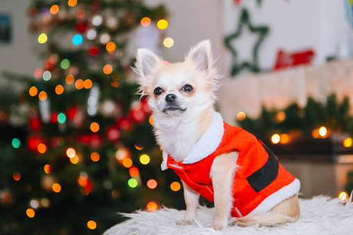 Cute chihuahua dog wearing in the costume of Santa Claus sit under christmas tree.