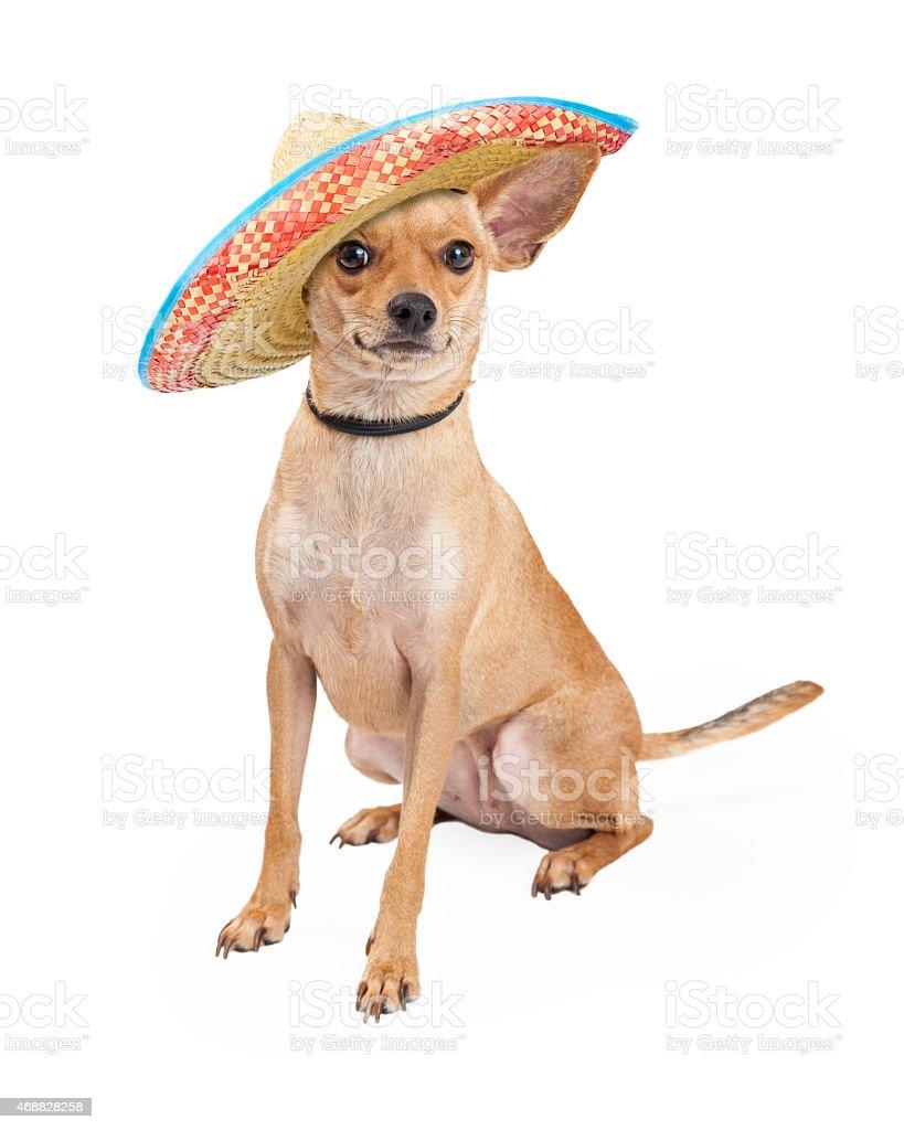 Cute Chihuahua Dog Wearing Mexican Sombrero stock photo