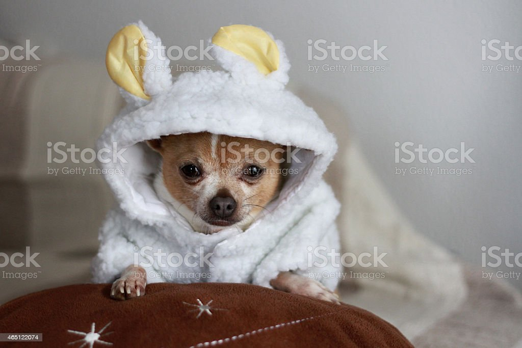 cute chihuahua in white carnival dress stock photo