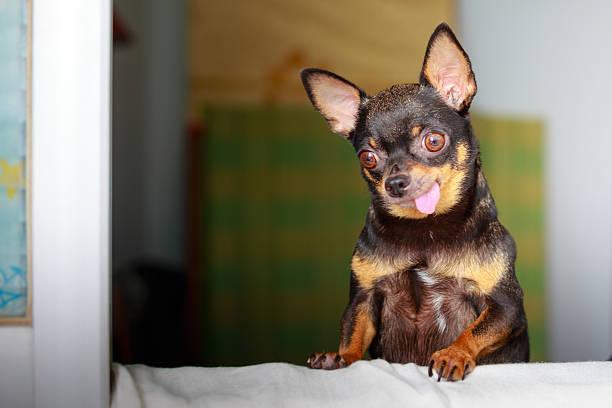 süße chihuahua blick aus dem fenster - traumscheune stock-fotos und bilder