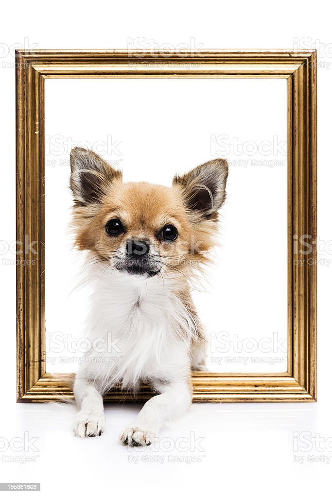 Cute Chihuahua on white background royalty-free stock photo