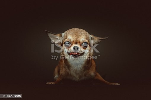 Cute Chihuahua studio portrait