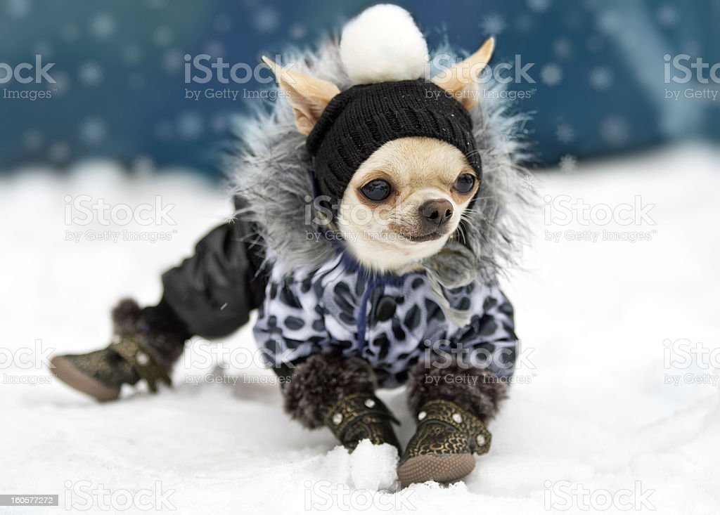 Image result for Designer Dog Coat istock