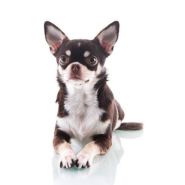 Cute chihuahua Cute chihuahua short haired chihuahua stock pictures, royalty-free photos & images