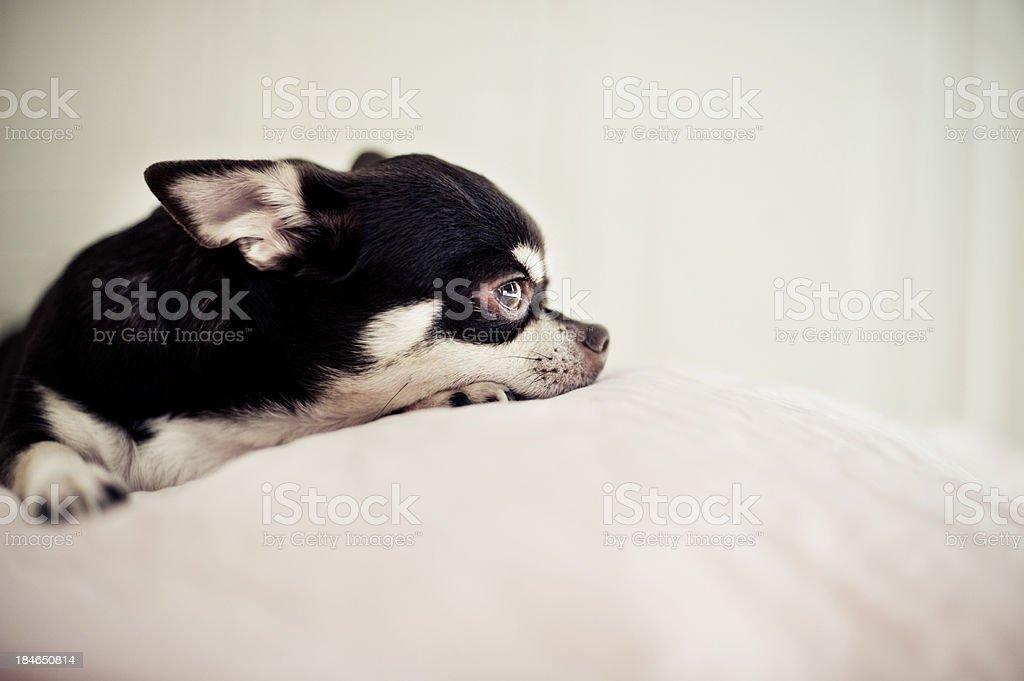 Cute Chihuahua royalty-free stock photo