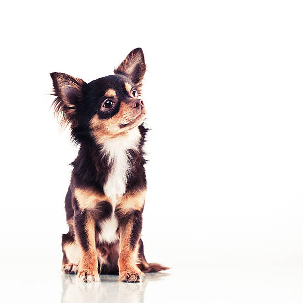 Cute chihuahua Cute chihuahua with red ribbon short haired chihuahua stock pictures, royalty-free photos & images