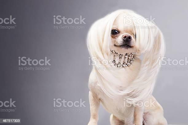 Cute chihuahua picture id467517303?b=1&k=6&m=467517303&s=612x612&h=r3inag1zyfml0ro7tktdplo fnuzio3zciqg r39au0=