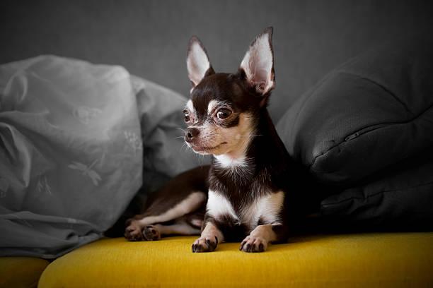 cute chihuahua stock photo