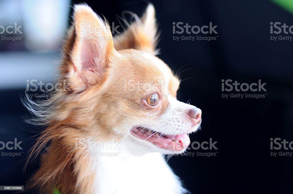 Cute chihuahua portrait, looking something. foto royalty-free