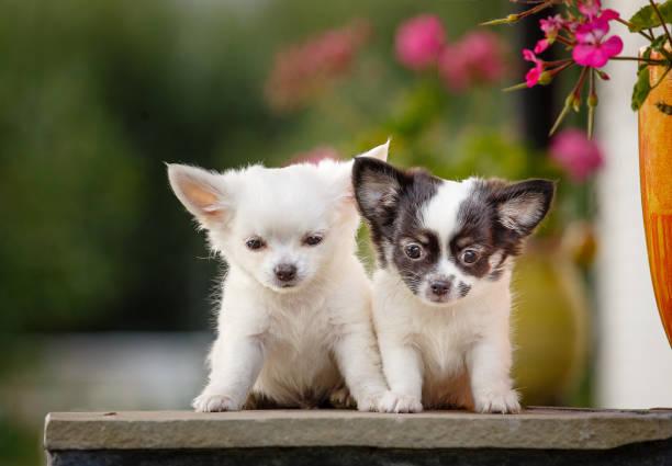 chiots chihuahua mignon - chihuahua chien de race photos et images de collection